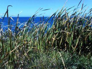 gräs i hermanus