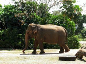 Elefant på promenad