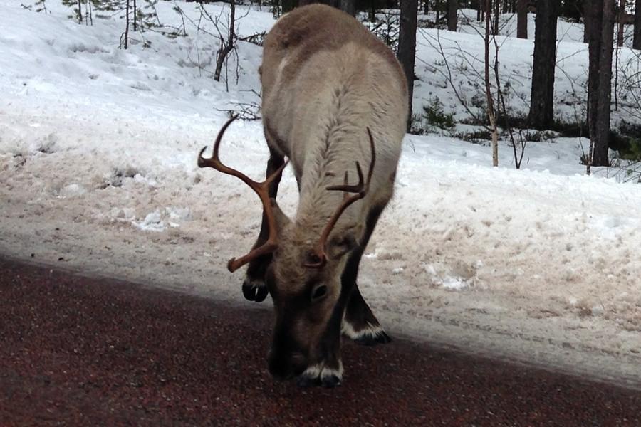 en av renarna vi mötte längs vägen