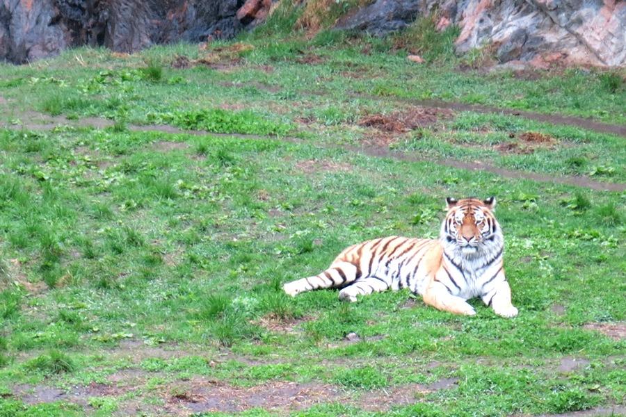 En tiger på Kolmården