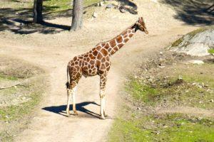 En giraff på Kolmården