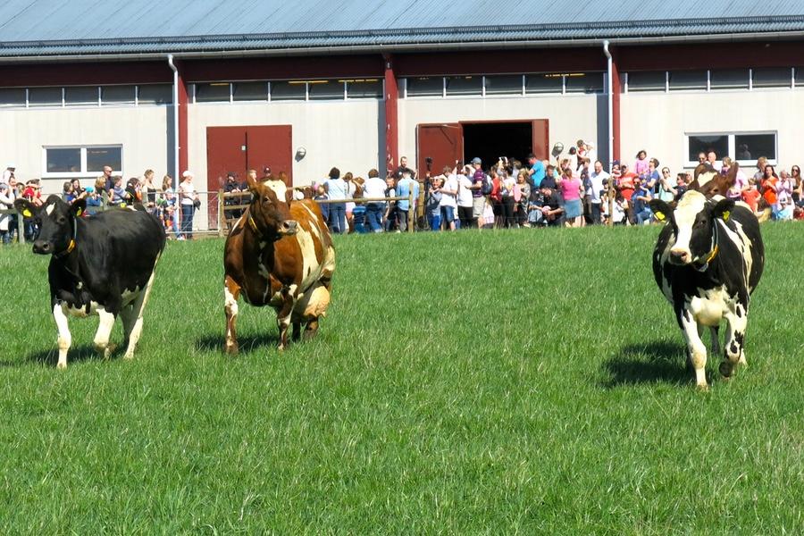 Kor på väg ut på grönbete